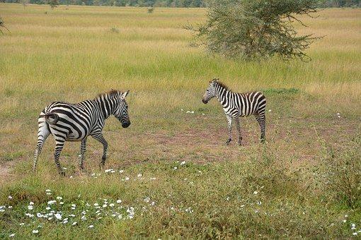 zebres de Tanzanie